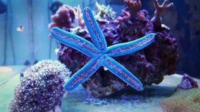 Étoiles de mer de laevigata de Blu Linckia Images libres de droits