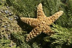 étoiles de mer de Noël Images stock