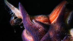 Étoiles de mer en Norvège Images stock