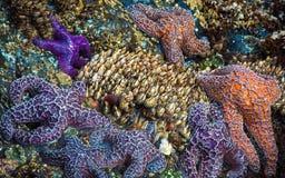 Étoiles de mer et bernaches image libre de droits