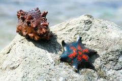 Étoiles de mer et un concombre de mer sur le rivage Photo libre de droits
