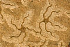 Étoiles de mer fossiles images stock