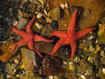 Étoiles de mer ocres Photographie stock