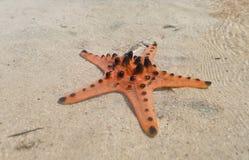 Étoiles de mer oranges Images stock