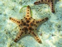 Étoiles de mer oranges en eau peu profonde de mer tropicale Photographie stock