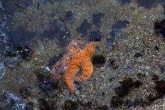 Étoiles de mer oranges partiellement submergées Image libre de droits