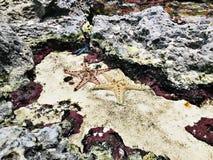 Étoiles de mer ou étoiles de mer Images stock