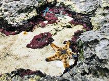 Étoiles de mer ou étoiles de mer Image libre de droits