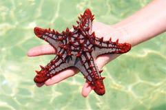 Étoiles de mer rouges à disposition Photos stock