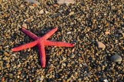 Étoiles de mer rouges Image stock