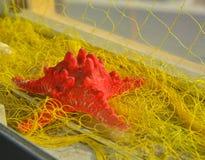 Étoiles de mer rouges avec le filet jaune pour des décorations photo stock