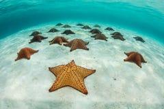Étoiles de mer rouges de coussin en mer des Caraïbes Image stock