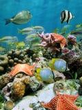 Étoiles de mer rouges de coussin dans un récif coralien Photos stock