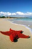 étoiles de mer rouges lumineuses Photos libres de droits