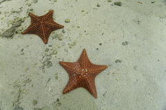 2 étoiles de mer rouges lumineuses dans les eaux tropicales peu profondes Image stock
