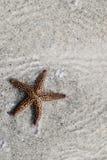 Étoiles de mer seules photo libre de droits
