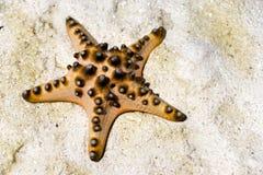 Étoiles de mer sous tension échouées sur le sable Images libres de droits