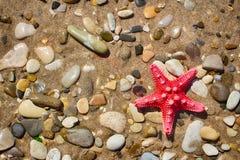 Étoiles de mer sur la plage Lumineux, rouge, cinq-aigu Caillou b de Sandy image libre de droits