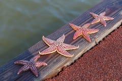 Étoiles de mer sur le bord de la mer Photo stock
