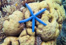 Étoiles de mer sur le récif coralien Étoiles de mer de corail et bleues jaunes Poissons d'étoile sur la photo sous-marine de bord Photographie stock libre de droits