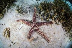 Étoiles de mer Warty Images libres de droits