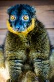 Étonnant le lémur colleté ! Image stock