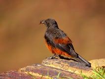 Oiseaux africains du sud Images stock