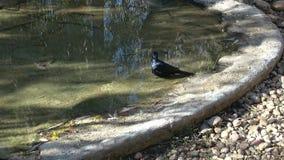 Étourneau à ailes rouges, morio d'Onychognathus, à une petite piscine pour boire et se laver banque de vidéos