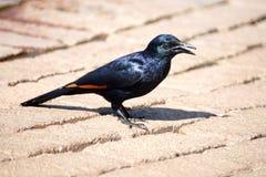 Étourneau à ailes rouges sur un patio de brique Image libre de droits
