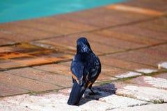 Étourneau à ailes rouges sur un patio de brique Images stock