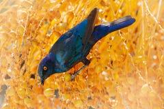 Étourneau brillant de cap, nitens de Lamprotornis, dans l'habitat de nature, arbre orange de plam avec des fruits Portrait en gro photo libre de droits