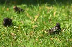 Étourneau dans l'herbe verte Photographie stock