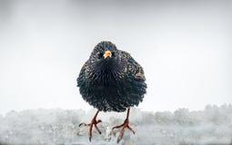 Étourneau européen dans la neige Photo libre de droits