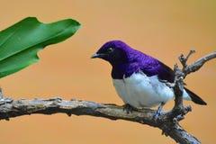 étourneau soutenu par violet Image libre de droits