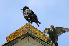 Étourneau sur un toit dans les Cornouailles, Angleterre Photo libre de droits