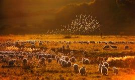 Étourneaux au-dessus des moutons Photographie stock