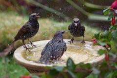 Étourneaux se baignant sur un bain d'oiseau photo stock
