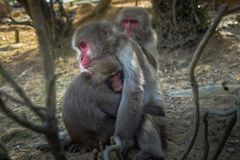 Étreindre de singe photos stock