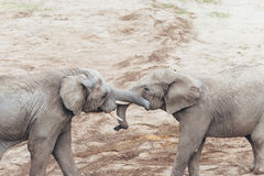 Étreindre des éléphants Photos libres de droits