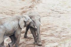Étreindre des éléphants Photo stock
