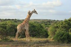 Étreindre des girafes Photos libres de droits