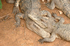 étreinte de crocodiles Photos libres de droits
