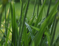 étroit d'herbe de gisement de rosée de profondeur Image libre de droits
