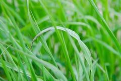 étroit d'herbe de gisement de rosée de profondeur Photographie stock