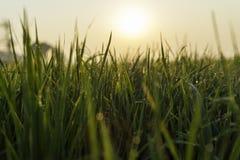 étroit d'herbe de gisement de rosée de profondeur Images libres de droits