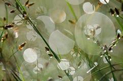 étroit d'herbe de gisement de rosée de profondeur image stock