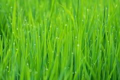 étroit d'herbe de gisement de rosée de profondeur Photo stock