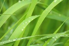 étroit d'herbe de gisement de rosée de profondeur Photo libre de droits