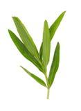 Étroit d'herbes d'estragon d'isolement sur le blanc Image libre de droits