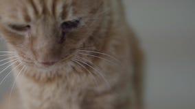 Étroit du docteur examinant le chat obéissant mignon adorable de gingembre tenant son museau avec ses mains enfilées de gants r clips vidéos